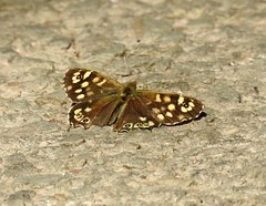 Speckled Wood Butterfly, St Dial's Road, Cwmbran 8 May 2018 (Cold War Warrior) Tags: butterfly lepidoptera speckled cwmbran