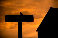 DSC_4301 (Stacey Conrad) Tags: d7500 nikon summerfield willowstreet bird pa sunset