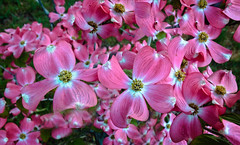 Beautiful Dogwood (http://fineartamerica.com/profiles/robert-bales.ht) Tags: dogwood emmett fineart flickr haybales idaho people photo photouploads places plants states pink cornusflorida deciduoustree cornaceae shrubs floweringtree dogtree blacknightshade houndberries untoothedleaves landscaping beautiful spectacular awesome magnificent peaceful surreal sublime magical spiritual inspiring colorful canonshooter bloom blossom blooming magnolia vivid horticulture fauna floral petals nature tree spring flower flora landscape stamen botany woodyplant delicate greetingcards