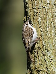 Treecreeper- Soaking up the Sun (kc02photos) Tags: treecreeper certhiafamiliaris minsmere suffolk england uk birdphotography