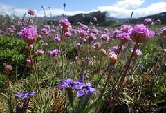 Coast spring bloom (Jeff Goddard 32) Tags: californiacoast sanluisobispocounty pointsierranevada wildflowers springtime