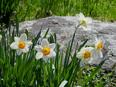 Daffodils in Rockcliffe Rockeries park in Rockcliffe (Ottawa), Ontario (Ullysses) Tags: rockclifferockeries rockcliffe ottawa ontario canada spring printemps rockcliffepark daffodils narcissus flowers fleures