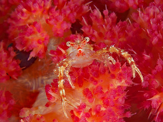 Squat Lobster on Soft Coral