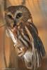 Saw Whet Owl (Samantha Decker) Tags: adirondackwildliferefuge canonef135mmf2lusm canoneos6d ny newyork samanthadecker owl upstate