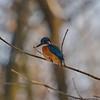 Kingfisher (tassiedevil96) Tags: kingfisher eisvogel nymphenburg munich germany bird