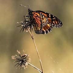 Wanderer (gecko47) Tags: insect lepidoptera butterfly danainae wanderer monarch common danausplexippus weeds seed farmersfriend oxleycreekcommon rocklea brisbane macro morninglight cobblerspegs spanishneedle devilspitchfork