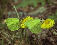 Twin butterflies (Blink_productions) Tags: lightroom butterfly butterflies flower green macro sigma canon nature dandelion