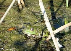 Croa croa, concert dans les roseaux :-) (jean-daniel david) Tags: animal grenouille batracien vert roseau eau ruisseau mujon mousse closeup grosplan bokeh yverdonlesbains suisse suisseromande vaud réservenaturelle