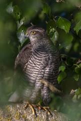 that look (md kingston) Tags: d750 nikon sigma 150600 bird wildlife sparrowhawk trees extender x14 raptors bop