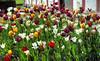 Tulip (Svendborgphoto) Tags: color flowers leica summicron 50mm f2 denmark sonya7ii sonyalpha fifty dof bokeh