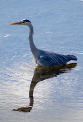 Grey Heron 2 (Hutchy99) Tags: heron greyheron bird wader pond water nwt wildlifetrust england northumberland outdoor waterfowl reflection ripples