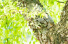mama squirrel is tired (Ginny Williams Photography) Tags: squirrel mother nesting resting nc northcarolina wildlife animals mammals cute adorable specialmoment spring summer tree green shade sleeping sweet bokeh 80200 zoom lens