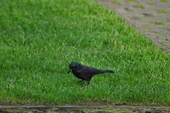 Common Grackle (David.Sankey) Tags: birding birds birdingnyc rooseveltisland eastriver newyorkcity newyork nycbirding queens grackle commongrackle