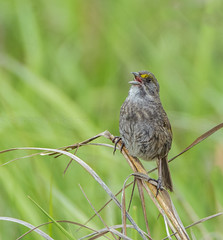 Seaside Sparrow (AnthonyVanSchoor) Tags: seaside sparrow delaware spring 2018 singing nikond7100 birding birdphotography bird birdshare birdwatchingmagazine audubon
