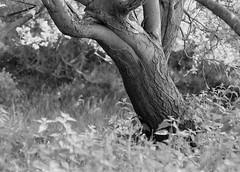 Tree (graemes83) Tags: pentax kodak eastman 5222 double x xx film 35mm 135 d96 black white monochrome