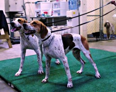 """Hound show practice at the kennel with Neptune and Newton • <a style=""""font-size:0.8em;"""" href=""""http://www.flickr.com/photos/39244634@N02/41390774455/"""" target=""""_blank"""">View on Flickr</a>"""
