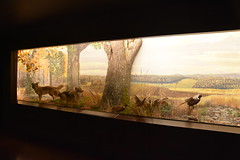 Wonders of Wildlfie National Museum and Aquarium (Adventurer Dustin Holmes) Tags: 2018 wondersofwildlife museum display exhibit springfieldmo springfieldmissouri greenecounty missouri pheasants coyotes gamebirds mural