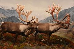 Mountain Caribou - Katmai National Park (Adventurer Dustin Holmes) Tags: 2018 wondersofwildlife museum katmainationalpark nationalpark caribou mountaincaribou animal taxidermy animalia chordata exhibit display