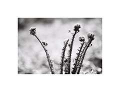 13. Ferns (kotmariusz) Tags: ferns fern monochrome monochrom blackandwhite monochromatic bw woods las paproć analog polska poland 35mm filmphotography ilfordxp2 iso400 olympusom40