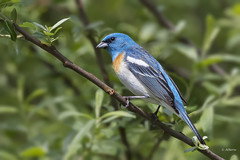 Lazuli Bunting / Passerin azuré (shimmer5641) Tags: passerinaamoena lazulibunting passerinazuré songbird cardinalsgrosbeaksandbuntingsfamily colorínpechocanela birdsofbritishcolumbia birdsofnorthamerica