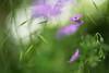 Deep in the Meadow (Stefan Zwi.) Tags: wiese gras meadow nature sun sonne gegenlicht bokeh green flower blume blüte ngc npc