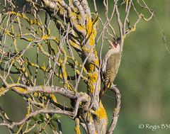 Mimétisme presque parfait... (Régis B 31) Tags: europeangreenwoodpecker picvert picidés piciformes picusviridis ariège bird domainedesoiseaux mazères oiseau
