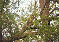 Camo Mode: Engaged (Tiara Rae Photography) Tags: barred owl nature wildlife bird birdwatching nebraska omaha branches tree camo feathers