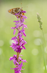 Butterfly (JuliaLia13) Tags: 50mm butterfly nikond7000 bokeh flower pink insect macro