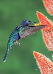 Violet Sabrewing (Campylopterus hemileucurus) (donnatopham) Tags: hummingbird multiflash ranchonaturalista costarica violetsabrewing