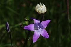 Wild Flowers (Hugo von Schreck) Tags: hugovonschreck wildflower wildblume flower blume blüte canoneos5dsr tamronsp90mmf28divcusdmacro11f017
