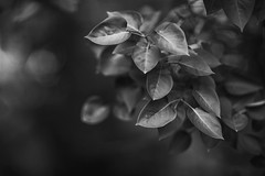 2018.05.20_140/365 - Exercise with green leafs (Taema) Tags: bw bwphd2018 blackandwhite leaf twigs bokeh