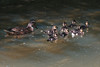 la ch'ti duck famille (Des.Nam) Tags: nature faune canard desnam d800 nordpasdecalais nikon nord 200500f56 eau canal lumière caneton oiseauxaquatiques