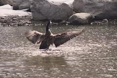 IMG_9408 copy (Britt2050) Tags: goose princesislandpark bird waterfowl