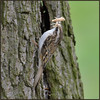 Tree Creeper (image 1 of 2) (Full Moon Images) Tags: rspb sandy lodge thelodge wildlife nature reserve bedfordshire bird tree creeper building nest