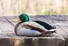 lake katherine. 2018 (timp37) Tags: duck lake katherine april 2018 illinois palos