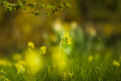 Sitting in the Morning Sun! (paulapics2) Tags: spring cowslip nature garden canoneos5dmarkiii canonef70300mmf456lisusm april