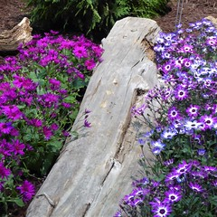 Chicago, Navy Pier, Chicago Flower & Garden Show, Pink and Purple Flowers (Mary Warren 10.5+ Million Views) Tags: chicago navypier chicagoflowerandgardenshow nature flora wood log trunk pink blue blooms blossoms flowers