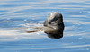 West Indian Manatee (Trichechus manatus); Ft. Meyers, FL, Lee County Manatee Park [Lou Feltz] (deserttoad) Tags: nature florida tourism mammal manatee water behavior reflection