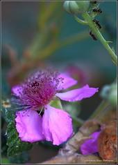 Rubus ulmifolius (gjedbz) Tags: zarzamora rubus larralde balsa mora flor
