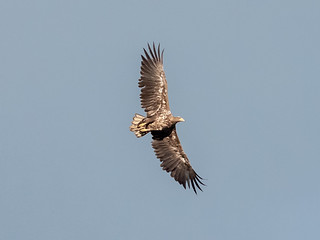White-tailed Eagle / Seeadler (Haliaeetus albicilla)