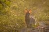 IMG_5535.jpg (Hans Van Loy) Tags: dieren gewervelden hazen konijn zoogdieren
