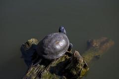 In the sun (o.shenko) Tags: turtle lake animals sun spring