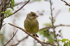 Greenfinch (Dougie Edmond) Tags: ayr scotland unitedkingdom gb bird birds nature wildlife