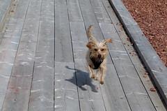 Liisa running in full speed (evisdotter) Tags: liisa running dog hund pet shadow actionshot spring