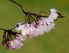 Blossoms (vern Ri) Tags: ri blossom flora fiori fleur flower blumen pink cherry