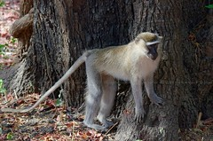 Tantalas Monkey, Vervet tantale (Chlorocebus tantalus) - Zakouma National Park (CHAD) (brun@x - Africa: birds & more) Tags: 2018 bruno portier brunoportier tchad chad zakouma national park zakoumanationalpark cercopithecidae primate tantalas monkey vervet tantale chlorocebus tantalus tantalasmonkey vervettantale chlorocebustantalus