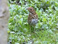 Thrush (Deanne Wildsmith) Tags: staffordshire wolseleynaturecentre bird thrush