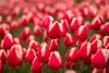 Dutch Spring (romanboed) Tags: leica m 240 summilux 50 europe netherlands holland dutch flower fields flowers field farm agriculture agribusiness spring jaro holandske kvetiny jarni bokeh tulips tulipany