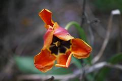 DSC08006 (Old Lenses New Camera) Tags: sony a7r pentax macro 100mm f28 plants garden flowers tulip pentaxfa famacro smcpentax