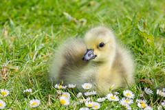 Canada Gosling (Linda Martin Photography) Tags: dorset wildlife longhamlakes baby birds animals goose canadagoisling uk brantacanadensis coth coth5 ngc alittlebeauty specanimal naturethroughthelens npc